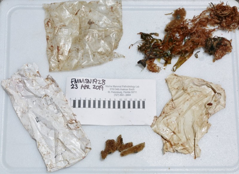 在美國佛州海灘擱淺的小小糙齒海豚,因為健康狀況不佳被安樂死,事後解剖發現牠胃裡有兩個塑膠袋與一個破碎的氣球。(圖擷自FWC Fish and Wildlife Research Institute臉書)