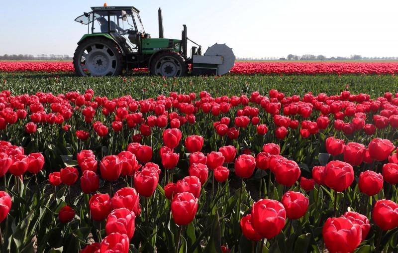 每年的3月底到5月中旬,是聞名全世界的荷蘭鬱金香花季。(路透)