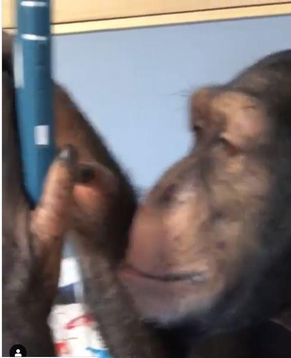 荷斯敦公布的影片中,可以看到黑猩猩熟練地操作智慧型手機。(圖取自Mike Holston《IG》)
