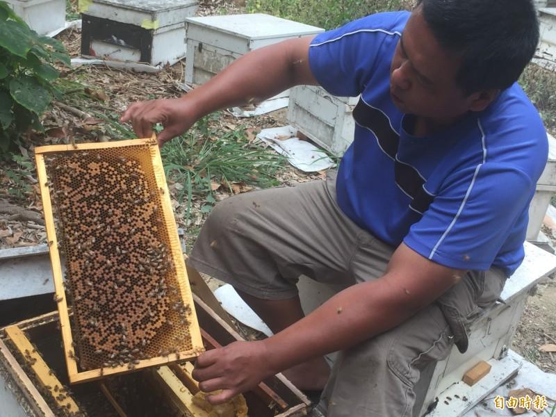 針對蜂蜜因乾旱減產,農委會將提供1/3砂糖補助,並取消蜂箱救助上限、增列蜂群救助項目。(資料照,記者陳文嬋攝)