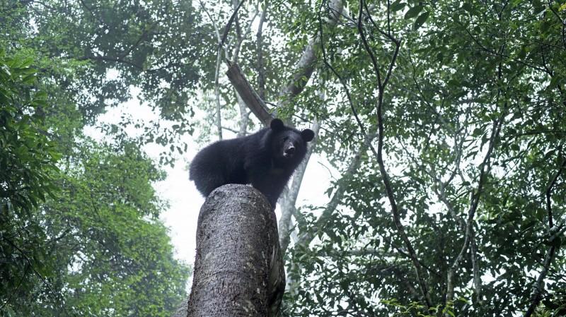 花蓮南安小熊妹今天搭上空勤黑鷹直升機「返回有熊國」,在花蓮卓溪的深山野放,是台灣第二宗黑熊野放。(林務局提供)