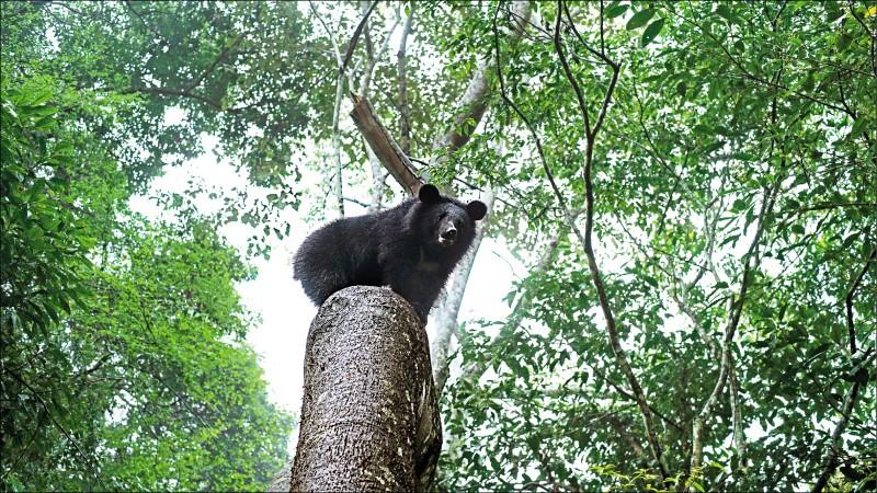南安小黑熊妹野放回歸山林,圖為牠爬上樹的照片。(林務局提供)