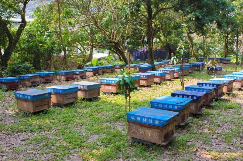 受到氣候影響,今年全台蜂蜜產量僅剩1成,蜂農損失慘重,農委會決定取消補助上限,並增加蜂群損失和砂糖補助。(記者陳建志翻攝)