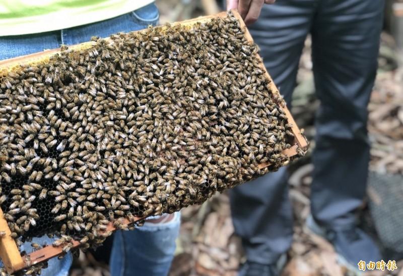 受到氣候影響,今年全台蜂蜜產量僅剩1成,蜂農損失慘重,農委會已決定針對讓蜜蜂續命的餵養砂糖補助3分之1。(記者陳建志攝)