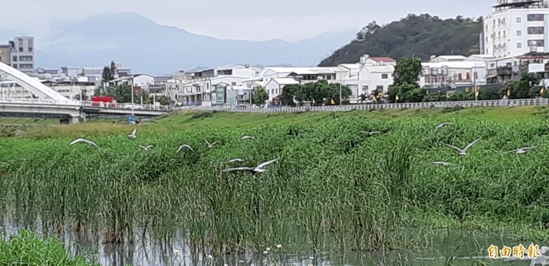 台東市太平溪口生態池今天鷗况。(記者黃明堂攝)