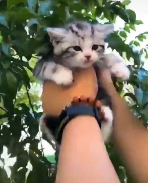日前一名網友在網路上發了一段「摘貓咪果實」的影片,新穎的拍攝噱頭吸引不少網友評論。(圖片擷取自推特「DAILYKITTEN」)