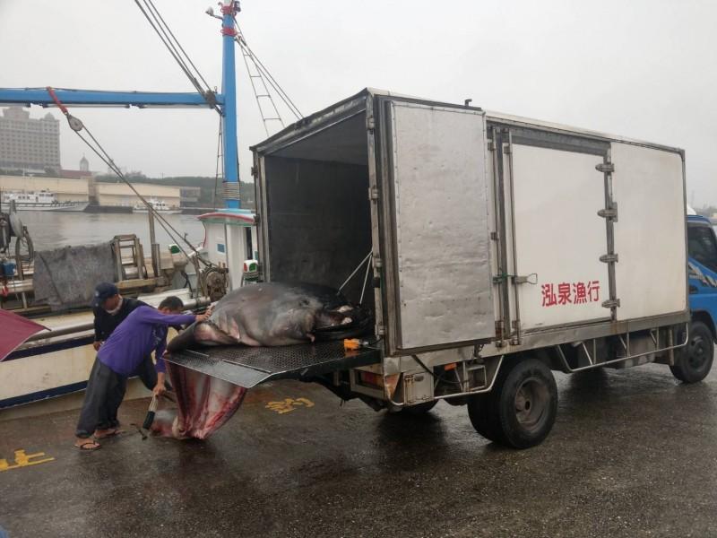 花蓮籍「鑫昇寶36」漁船捕獲一隻已死亡的巨口鯊,返港後主動向海巡署花蓮漁港安檢所通報。(海署署東部分署提供)