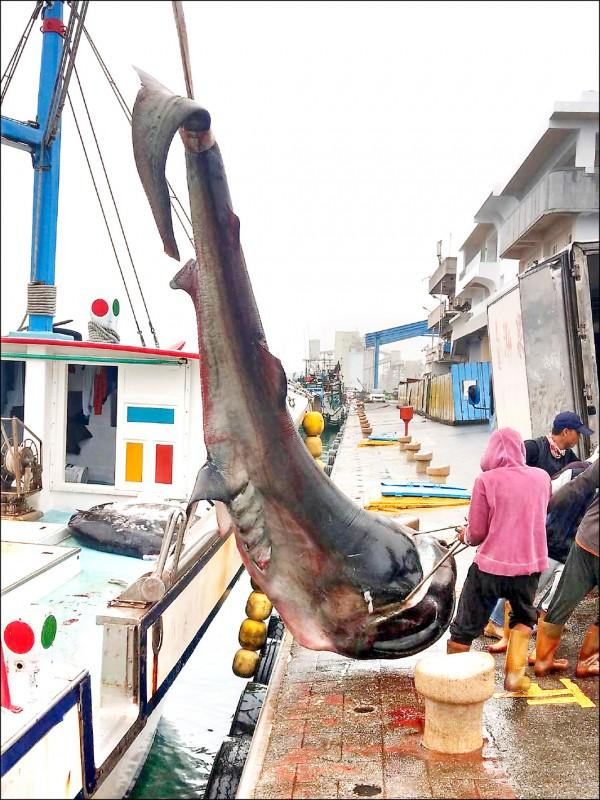 花蓮籍鑫昇寶漁船捕獲巨口鯊,返港後主動向海巡署花蓮漁港安檢所通報。 (海巡署東部分署提供)