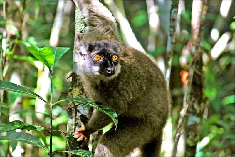 聯合國指出,人為開發、氣候變遷及污染等因素,引發生物多樣性危機。圖為馬達加斯加安達西貝—曼塔迪亞國家公園裡的狐猴。 (美聯社檔案照)