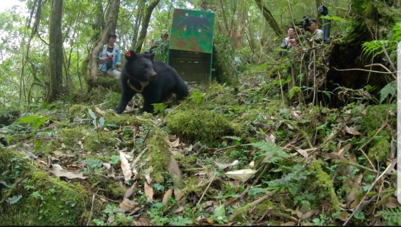 林務局今天公布南安小熊野放影片。(林務局提供)
