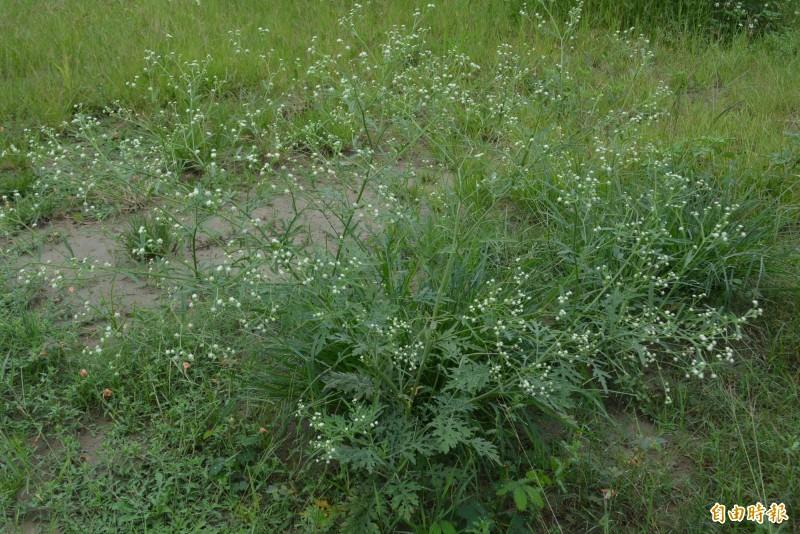 太平區光德路旁台糖所有的空地,長滿葉子像艾草,小白花像滿天星的銀膠菊,民眾極易認錯摘採。(記者陳建志攝)