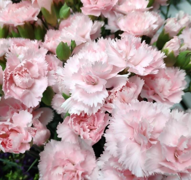 母親節即將到來,不少人都會買康乃馨送家人,但今年康乃馨的價格卻創下22年來新高。(台北花卉產銷股份有限公司提供)