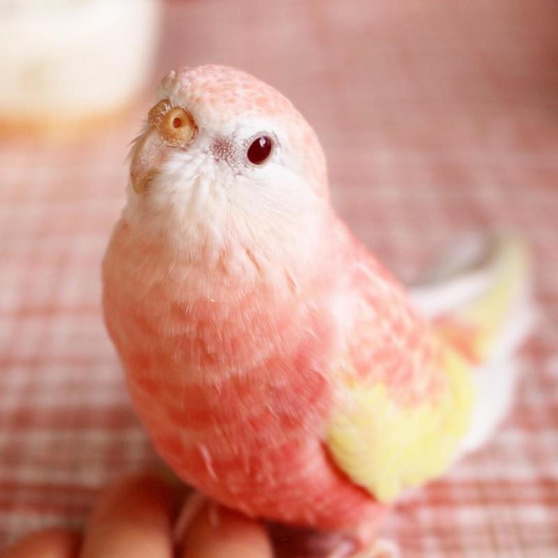 最近Instagram上有隻粉紅色的鸚鵡網美逐漸竄紅,漂亮的身姿讓網友每天都在敲碗新照片。(圖擷取自pojumaru Instagram)