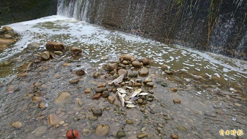 新竹縣關西鎮的牛欄河今天下午因為桃園市的污染,境內的水域再度出現魚群暴斃。(記者黃美珠攝)
