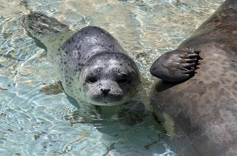 中國破獲海豹走私集團,雖救出37隻小海豹,但仍有27隻因身體情況不佳死亡。(美聯社)
