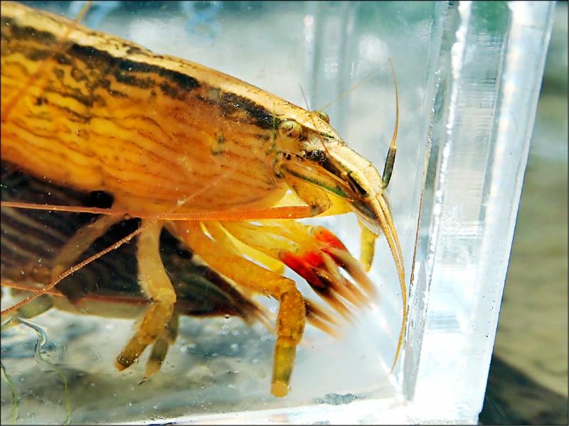 網球蝦不像一般的蝦子有大螯足,喜歡在急流處張開網子捕捉小生物為食。(洄瀾風提供)
