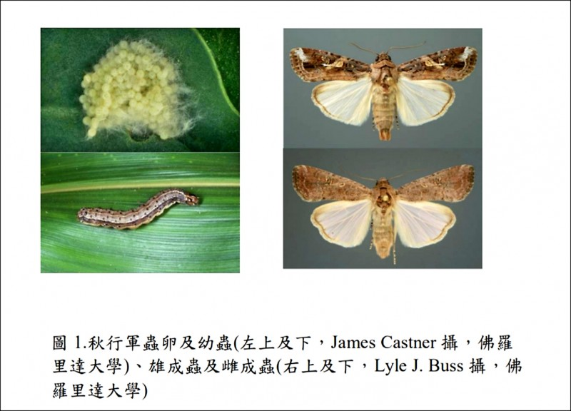 秋行軍蟲的蟲卵、幼蟲與成蟲。(防檢局提供)