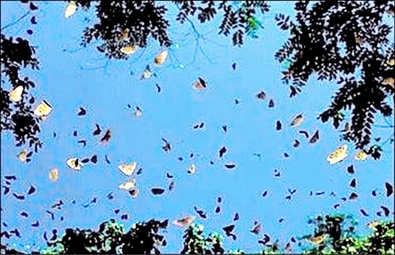 南投縣竹山鎮鯉魚社區有時也可見到紫斑蝶集體遷徙景象。(資料照,記者謝介裕翻攝)