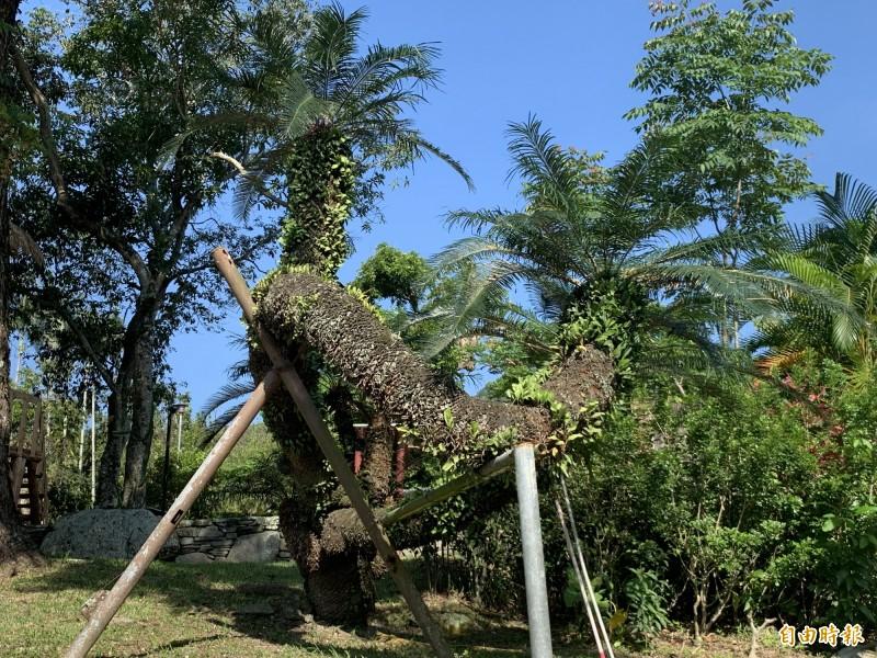 這棵位在利嘉國小的台東蘇鐵推估有一百四十六歲。(記者張存薇攝)