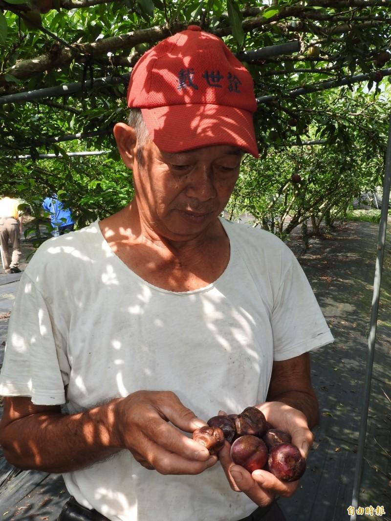 農民望著棄收腐爛的香水李感歎今年血本無歸。(記者佟振國攝)