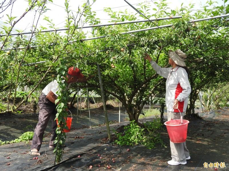 香水李果園目前結果稀稀落落,採果遊客得努力尋找。(記者佟振國攝)