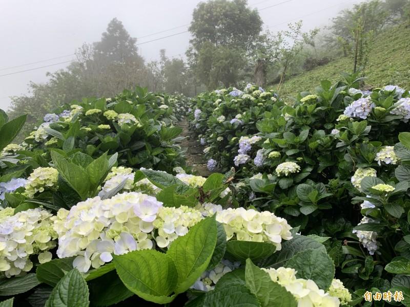 太麻里金針山繡球花開了,雲霧繚繞下的步道別有一番風情。(記者王秀亭攝)