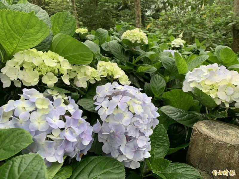 金針山繡球花受土質影響,多爲藍紫色。(記者王秀亭攝)