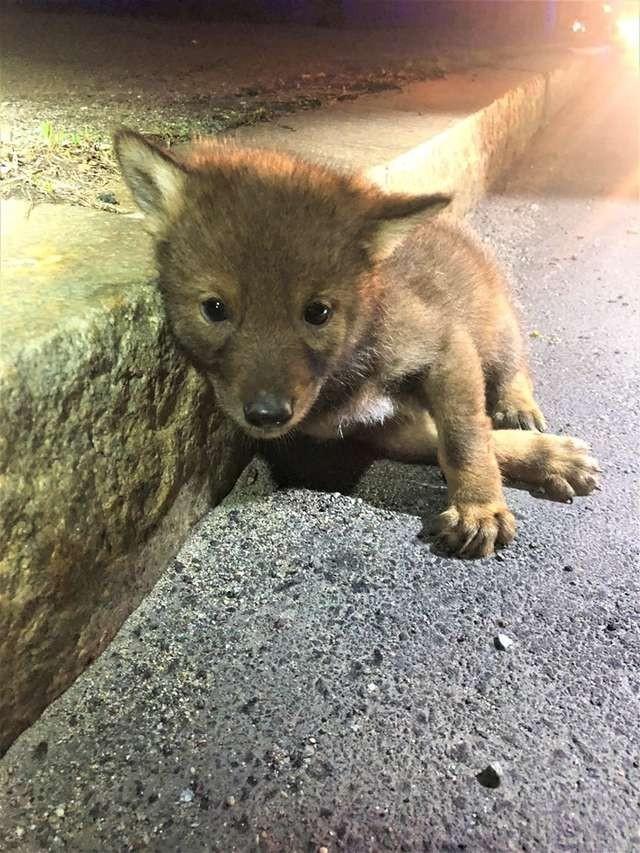 美國員警在公路旁救了1隻「郊狼」。(圖取自臉書)