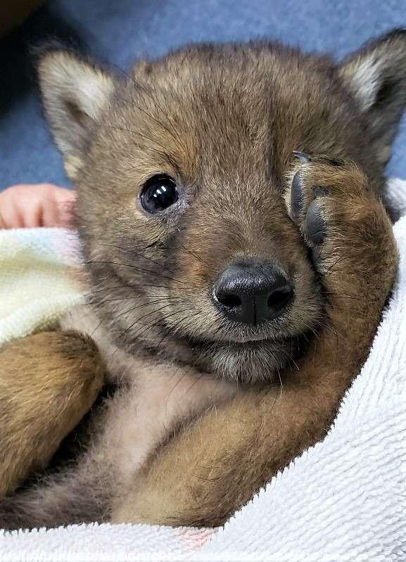 獲救的小動物是一隻「郊狼」。(圖取自臉書)