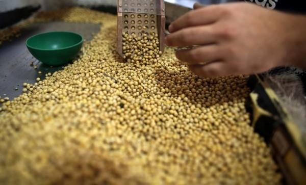 中國北京市昨(13)日突然宣布實施「糧油價格波動的應急調控預案」。圖為大豆示意圖。(路透)