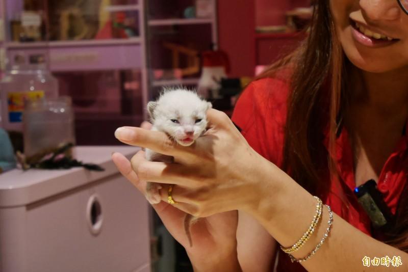 店家提醒民眾,發現小貓時,應先觀察媽媽是否將牠叼回去,不要輕易觸摸留下氣味,導致媽媽回來後聞到氣味不同而棄養。〔記者林佳儒攝〕
