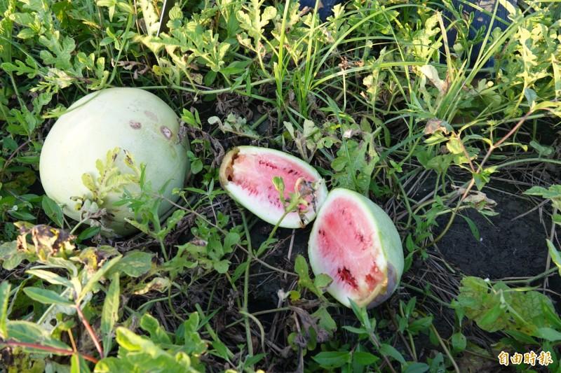 爛掉西瓜的果皮顏色較淡,更會爛心。(記者劉曉欣攝)