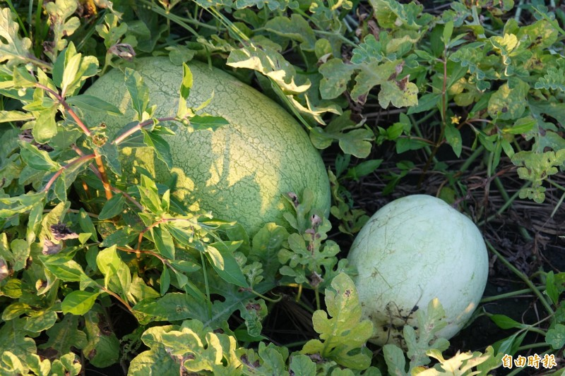 正常西瓜的果皮較綠,紋路清楚,爛掉的西瓜果皮顏色較淡。(記者劉曉欣攝)
