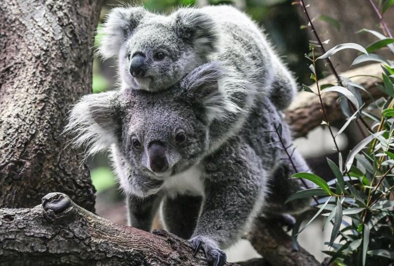 澳洲的無尾熊數量少於8萬隻,正面臨「功能性滅絕」,難以繁殖出新的一代。(美聯社)
