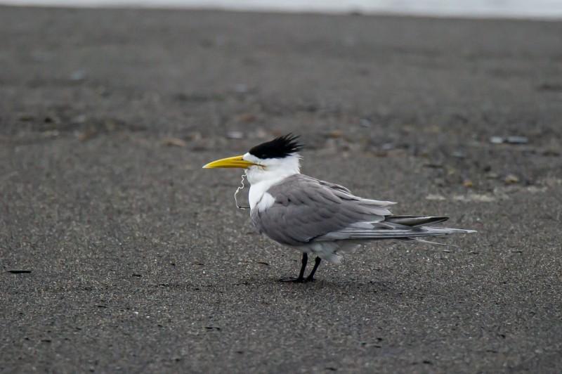 攝影愛好者小賴拍到被魚鉤卡喉的鳳頭燕鷗,畫面曝光後令人心疼。(小賴提供)