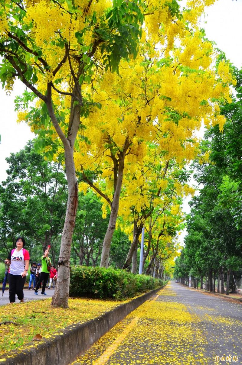 下雨後,阿勃勒黃花飄落,路面猶如鋪上金色地毯。(記者吳俊鋒攝)