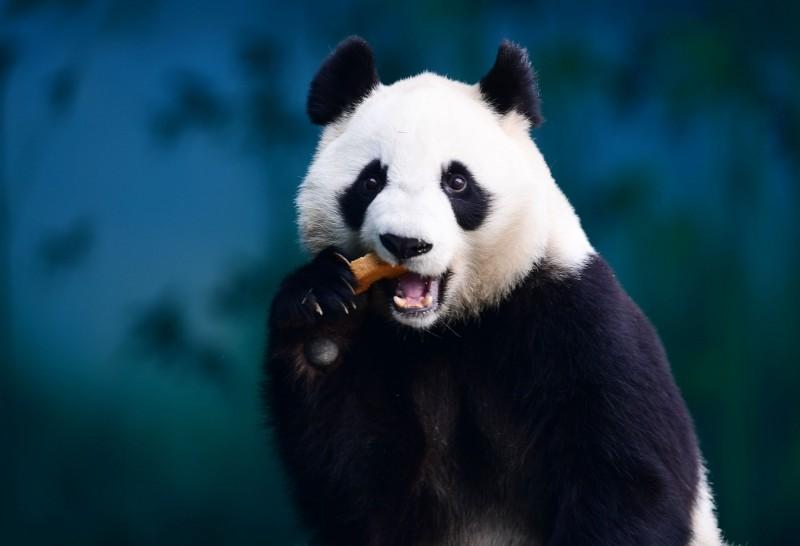 近期中美貿易戰白熱化,雙方祭出不少手斷互相制裁,昨(17)日中國將兩隻大熊貓從美國動物園召回,令網友不禁聯想,是否這又是中國貿易戰中作為制裁的手段之一。圖為大熊貓。(法新社)