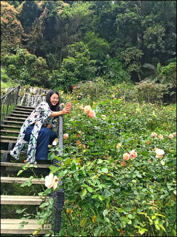 順著雲香步道走一圈,除了一路欣賞各種玫瑰,店家還貼心提供熱量計算表,鼓勵大家多動多健康。(記者陳宇睿/攝影)