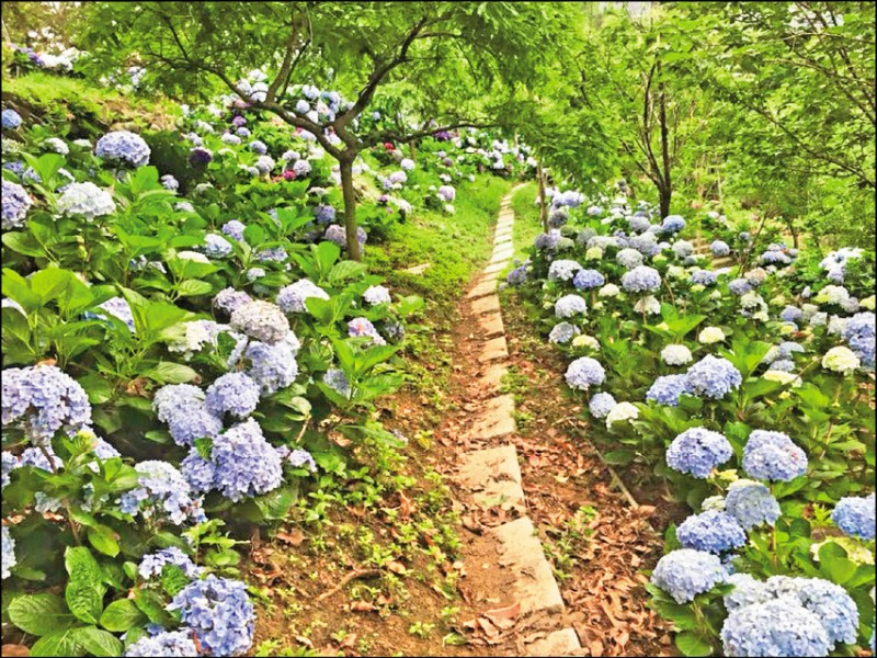 走在杉林松境的小徑中可以感受被繡球花圍繞的感。(圖片提供/杉林松境休閒農場)