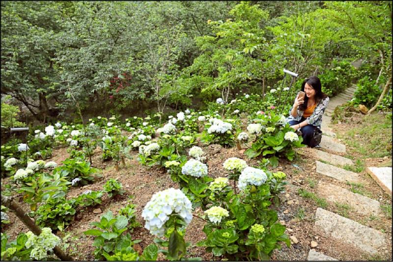 因氣候影響,杉林松境的繡球花預計6月初才會滿開,花季可持續到6月底,到時可沿著繡球花小徑,欣賞錯落在山坡上3千多株紫藍相間的繡球花。(記者陳宇睿/攝影)