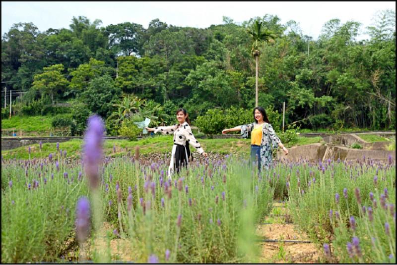 葛瑞絲香草田到5/31前都開放免費入園參觀。(記者陳宇睿/攝影)