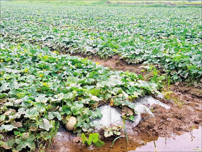 因豪雨受損的作物。(農委會提供)