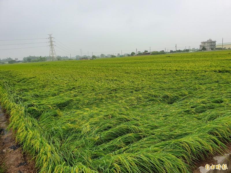 一期稻作繼稻熱病疫情後,520強降雨又造成稻作多處傳出倒伏,農民擔心這期收成要血本無歸。(記者王涵平攝)