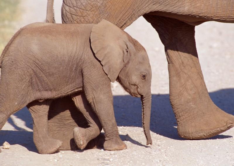 印度西孟加拉邦(West Bengal)有隻母象剛生出一頭虛弱的小象,母象不停試圖將小象移往森林,但有些民眾卻朝牠們扔石頭,導致母象暴怒衝向人群,有一名男子直接被當場踩死。圖為小象示意圖。(示意圖)