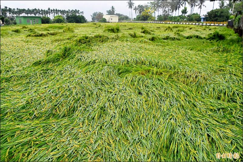昨天傍晚一陣強降雨,造成高雄美濃、旗山和杉林區至少380公頃即將收割的稻田嚴重倒伏。(記者蘇福男攝)