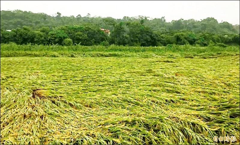 高雄大雷雨致災,造成水稻倒伏,減產至少二成。(記者陳文嬋攝)