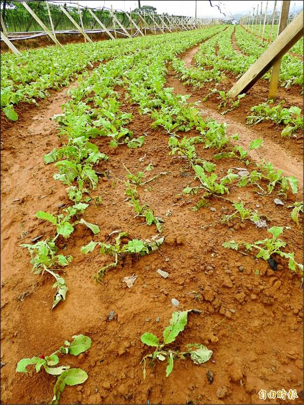 埔里鎮大坪頂的蘿蔔田因雨受災,葉片倒伏或破損。(記者佟振國攝)