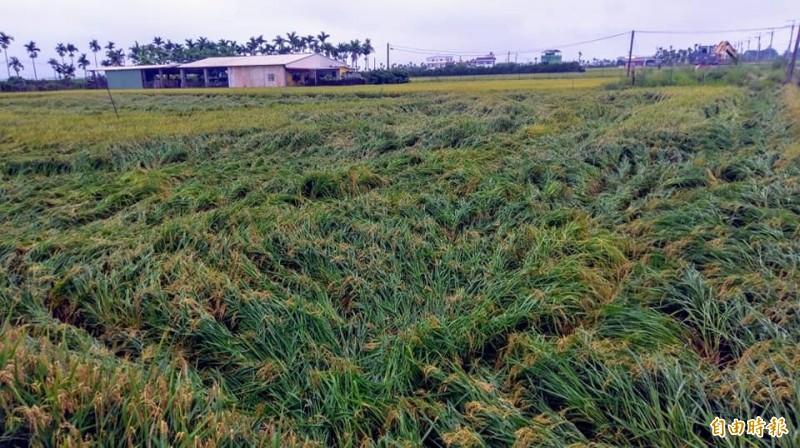屏東水稻倒伏災情開始往南侵襲。(記者陳彥廷攝)
