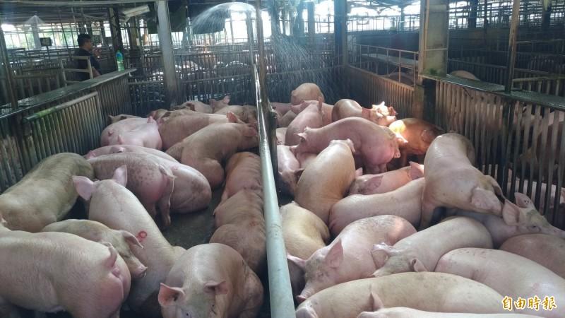 國內毛豬供應尚稱充裕,不致影響端午節豬肉供應。(記者廖淑玲攝)