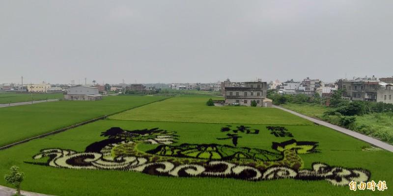 「苗栗穀倉」苑裡鎮今年的稻田彩繪以龍舟為主題,應景即將到來的端午節。(記者蔡政珉攝)